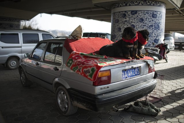 Dogs sit on a car as they wait to be sold at a street pet dog market in Lanzhou, Gansu province, February 15, 2015. (Photo by Aly Song/Reuters)