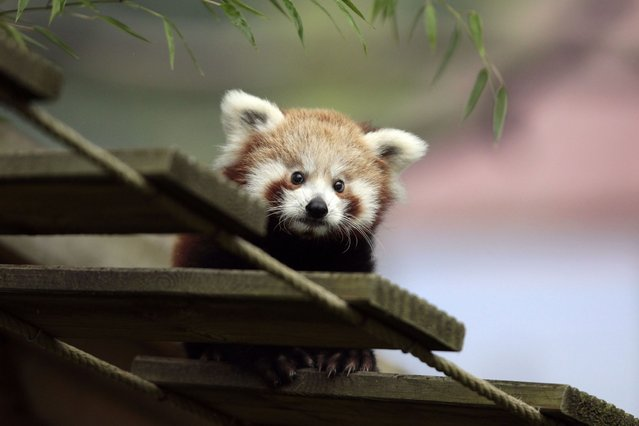 One of the two baby red pandas, named Ying and Yang and born on June 22, stands in an enclosure at the Cerza Zoo in Hermival-les-Vaux, France, on October 1, 2013. (Photo by AFP Photo)