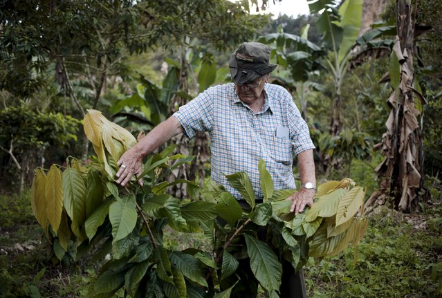 Roger Castellon inspects a cocoa tree at the Nogales farm in Jinotega, Nicaragua January 7, 2016. (Photo by Oswaldo Rivas/Reuters)