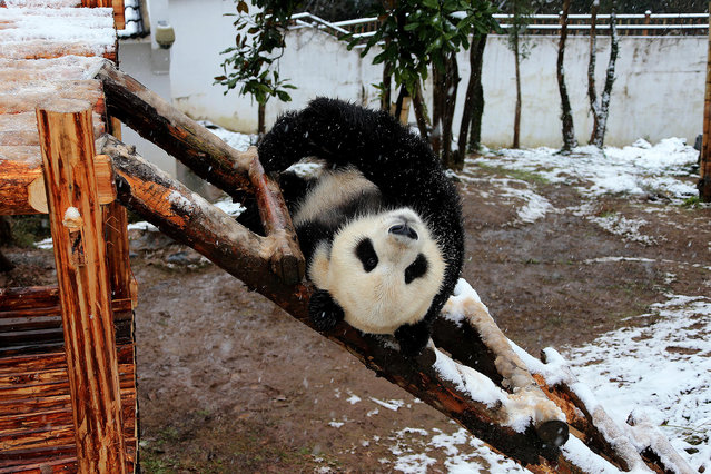A giant panda has fun on a wooden stand in the snow at Huangshan Panda Ecological Paradise in Xiuning county, Huangshan city, east China's Anhui province, 22 January 2016. (Photo by Imaginechina/Splash New)