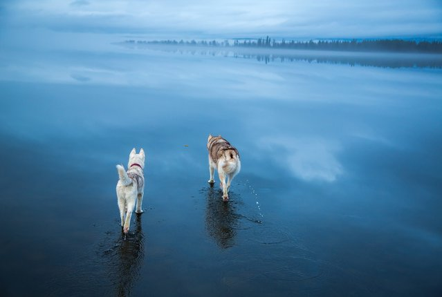 Husky dogs walks on water in Northern Russia, January 2015. The miraculous images were taken after heavy rainfall landed on a frozen lake. The rare phenomenon was captured by the dog's owner Fox Grom. (Photo by Fox Grom/Visual Press Agency)