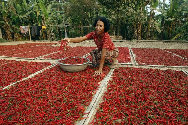 A Cambodian woman dries chili pepper on the ground near the Mekong river at Russey Chroy village, Kandal province, north of Phnom Penh, Tuesday, March 31, 2015, as the three-month-long harvest season started February. (Photo by Heng Sinith/AP Photo)