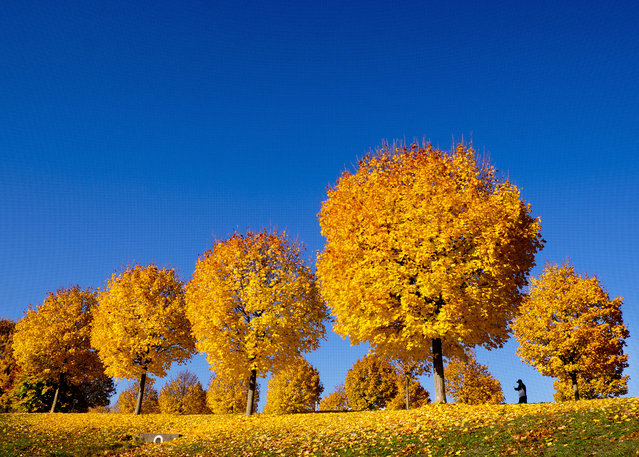 Yellow colored trees stand on a meadow under a blue sky in a park in Frankfurt, Germany, Wednesday, November 7, 2018. (Photo by Michael Probst/AP Photo)