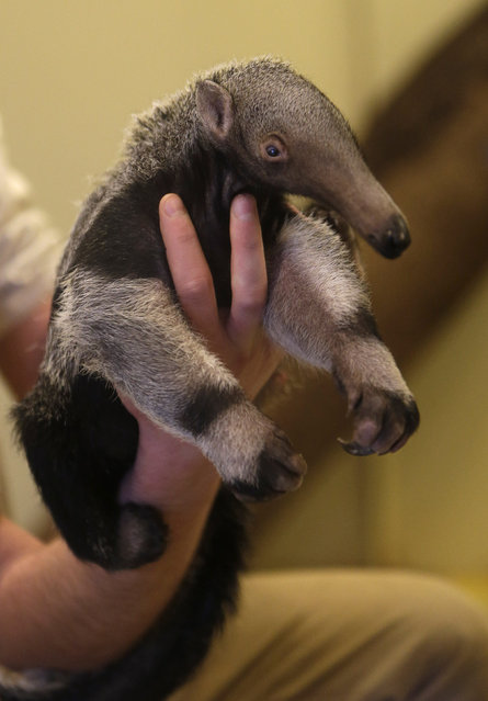 A zookeeper holds a baby giant anteater in its enclosure at Prague Zoo, Czech Republic, March 2, 2016. The baby giant anteater was born on January 20, 2016. (Photo by David W. Cerny/Reuters)