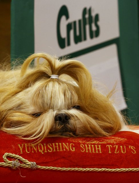 A Shih Tzu rests during the first day of the Crufts Dog Show in Birmingham, Britain March 10, 2016. (Photo by Darren Staples/Reuters)