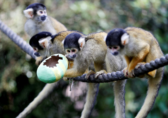 Black capped squirrel monkeys are fed treats from a papier-mache Easter egg during a photo-call at ZSL London Zoo in London, Britain, April 18, 2019. (Photo by Peter Nicholls/Reuters)