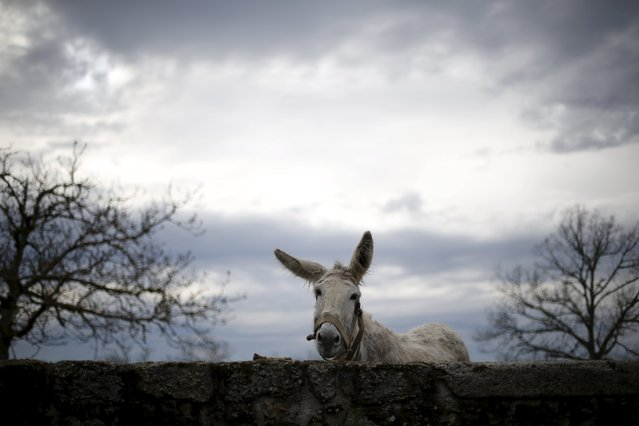 A donkey stays inside a pen in Povoa de Agracoes near Chaves, Portugal, April 18, 2016. In the villages of Agracoes and Povoa de Agracoe, the steady drip-drip of emigration has brought down population numbers from more than 50 residents to fewer than a dozen each. These remaining villagers share the same glum acceptance that, after they have gone, their villages will die out too. It is the same desolate picture in scores of other backwater settlements in Portugal's interior, north to south. (Photo by Rafael Marchante/Reuters)