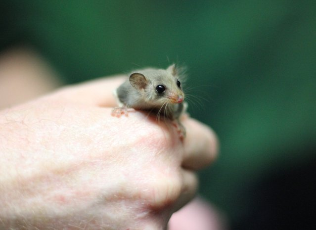 A handout picture made available by the Taronga Zoo shows a Feathertail Glider joey at Sydney's Taronga Zoo, Australia, 26 June 2015. Taronga is celebrating the birth of seven of the tiny Glider joeys. (Photo by EPA/Taronga Zoo)