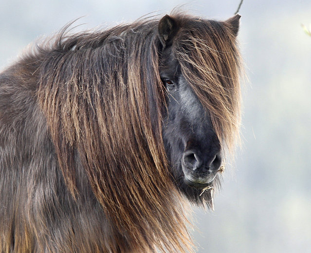 A horse with long hair stands in its enclosure on a meadow in Weidenhahn, Germany, Tuesday, April 11, 2017. (Photo by Michael Probst/AP Photo)