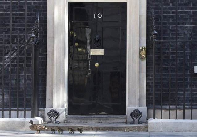 A duck and some ducklings pass the door to10 Downing street in London July 14, 2014. (Photo by Neil Hall/Reuters)