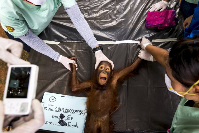 A Thai veterinarian takes a picture of a 2-year-old orangutan during a health examination at Kao Pratubchang Conservation Centre in Ratchaburi, Thailand, August 27, 2015. (Photo by Athit Perawongmetha/Reuters)