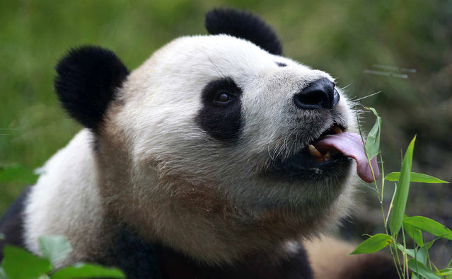 Yang Guang, a male giant panda, licks honey from a bamboo stem during a media event for his ninth birthday celebrations in his enclosure at Edinburgh Zoo in Edinburgh, Scotland August 14, 2012. Yang Guang's partner Tian Tian celebrates her ninth birthday on August 24. The pair are on a long term loan to the Zoo from China. (Photo by David Moir/Reuters)