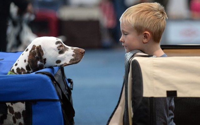 """Five-year-old Erik looks at a Dalmatian as they stand in two dog boxes during the """"Hund und Katz"""" (Dog and Cat) trade show in Leipzig, Germany, 24 August 2014. The competition is one of the highlights of the exhibition. More than 5,000 pedigree dogs from 15 nations and about 300 cats are presented during the trade fair. (Photo by Hendrik Schmidt/EPA)"""