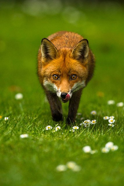 """On the Prowl – Fox"". Sixteen-year-old Joshua Burch won the 12-18 prize. (Photo by Joshua Burch/British Wildlife Photography Awards 2014)"