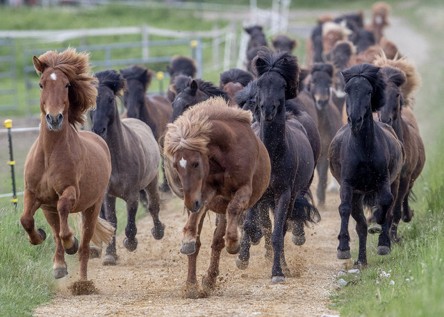 Icelandic horses go wild as they are for the first time in the season are driven from their stable to a meadow on a stud farm in Wehrheim near Frankfurt, Germany, Thursday, May 14, 2020. (Photo by Michael Probst/AP Photo)