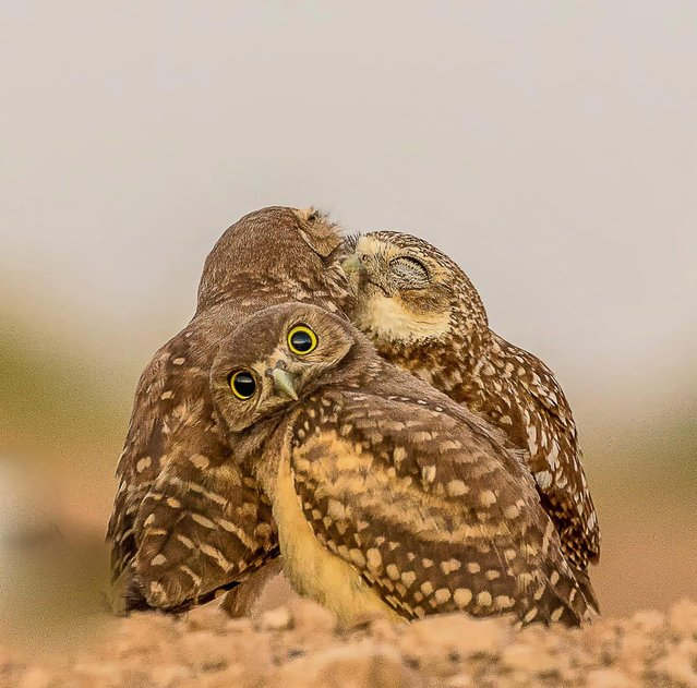 Burrowing Owlet embarrassed by kissing behind him, Salton Sea, California. (Photo by Melissa Usrey/Comedy Wildlife Photography Awards/Barcroft Media)