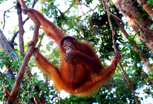 A female Orangutan hangs from a tree while eating fruit September 1, 2001 near Camp Leakey at the Tanjung Puting National Park in Kalimantan, Indonesia. The Orangutans live in the national park where they are protected, they get daily feedings of sugared milk and fruit to supplement their diet. (Photo by Paula Bronstein/Getty Images)