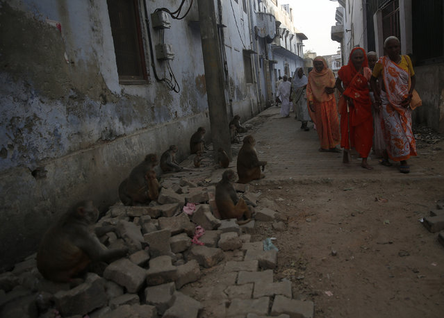 Widows, who have been abandoned by their families, walk past monkeys as they leave to offer prayers as part of Diwali celebrations organised by non-governmental organisation Sulabh International in Vrindavan, Uttar Pradesh October 21, 2014. (Photo by Ahmad Masood/Reuters)