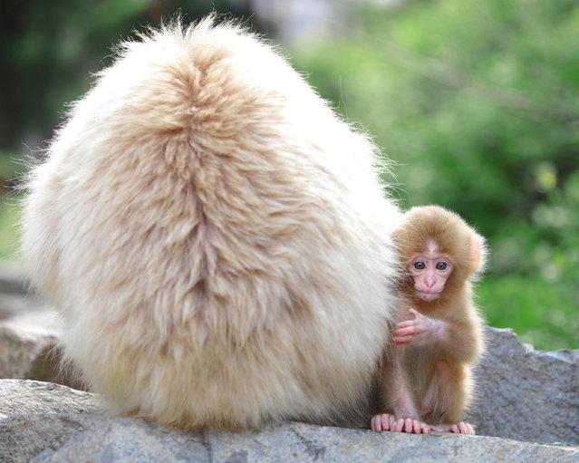 "Hello Baby!!! Snow monkey at ""Jigokudani hot-spring"" in Nagano, Japan. (Kiyoshi Ookawa)"