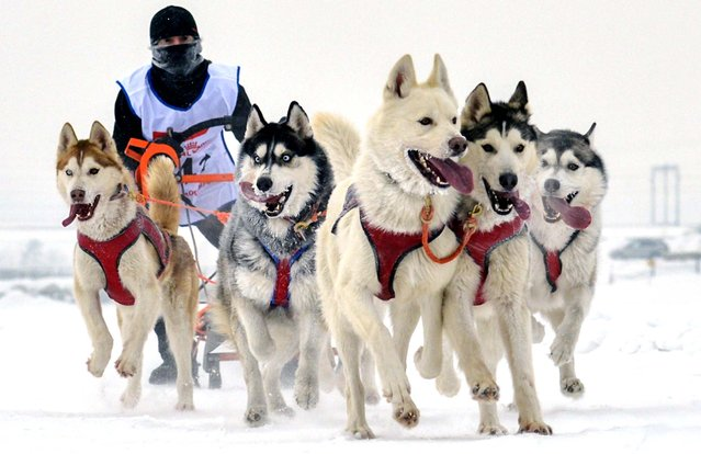 Dogs pull their owner toward the finish line during the Christmas Arrivals – 2013 Sled Dog Races near the Siberian city of Novosibirsk, January 7, 2013. (Photo by Ilnar Salakhiev/Associated Press)