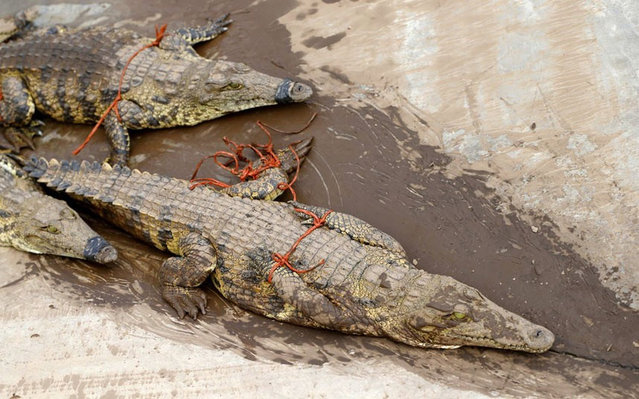 Thousands Of Crocodiles Escape From Farm