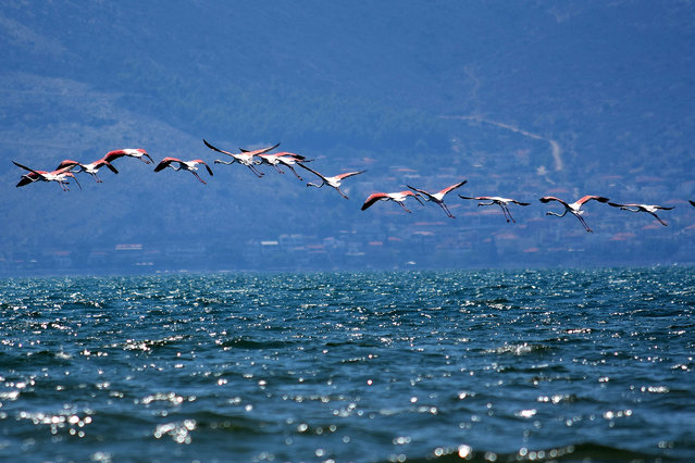 Flocks of immigrant flamingo birds are seen the waters of Nea Kios, in Naflio, Greece, 14 September 2016. (Photo by Bougiotis Vangelis/EPA)