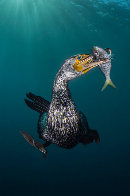"""Behaviour category - winner. """"The Fisherman"""" by Filippo Borghi (Italy). Location: Osezaki, Japan. In winter time the Izu peninsula in Tokyo area becomes a stopover for the Asiatic cormorant before they move on to China. This is the best moment to try to shoot this amazing sea bird whilst they dive and fish. (Photo by Filippo Borghi/UPY 2018)"""