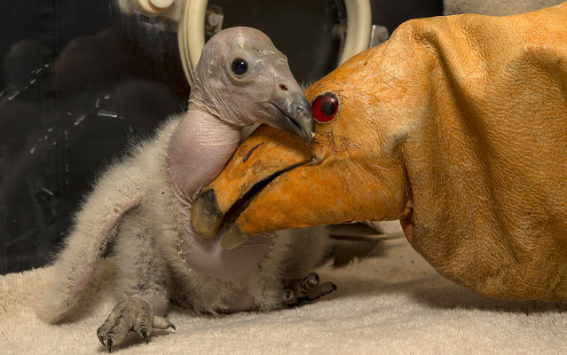 Two-week-old Wesa, the first California condor chick hatched this season at the San Diego Zoo Safari Park, cuddles with a condor puppet, on March 12, 2013. According to her keepers, Wesa has quite the appetite – she's eating up to 15 mice daily. (Photo by Ken Bohn/AFP Photo/San Diego Zoo)