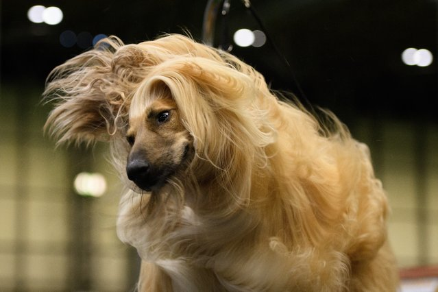 Cloudside Music Maker, the Afghan Hound, shakes his head as he's groomed ahead of competition on day two of the Cruft's dog show at the NEC Arena on March 9, 2018 in Birmingham, England. (Photo by Leon Neal/Getty Images)