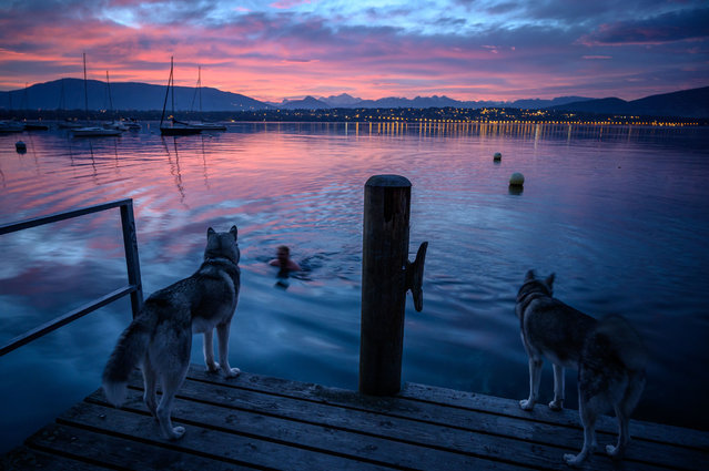 Two husky dogs watch their master swimming in Lake Geneva at sunrise, in Genthod, on October 21, 2020. (Photo by FAbrice Coffrini/AFP Photo)