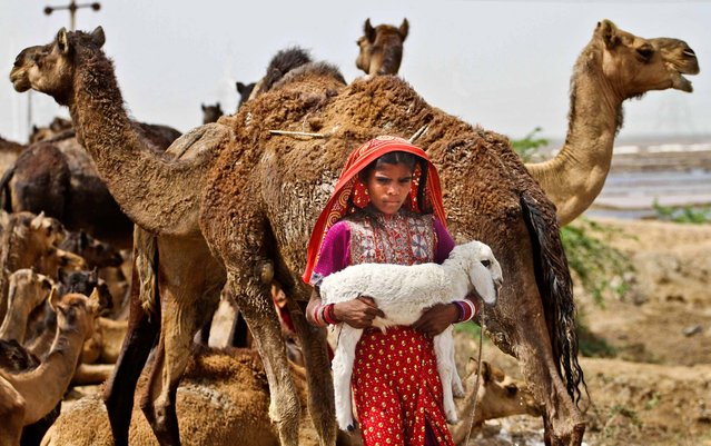 A girl carries a lamb as she walks past herds of camels on a highway in the Kutch district of Gujarat state, India, on April 17, 2013. (Photo by Ajit Solanki/Associated Press)