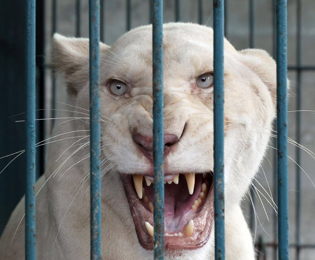A lioness bares its teeth inside an enclosure after a raid at a zoo-like house on the outskirts of Bangkok, Thailand Monday, June 10, 2013. Thai police and forestry officials searched and seized a number of imported and endangered animals including 14 lions from Africa and arrested the house's owner. (Photo by Apichart Weerawong/AP Photo)