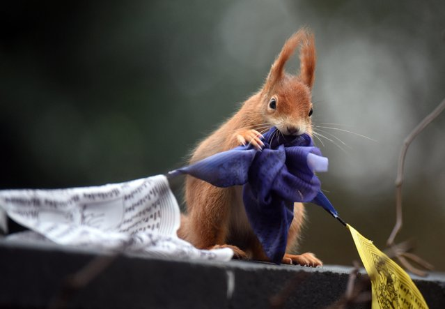 A squirrel chews on a Tibetan Prayer flag in Cologne, western Germany, on February 8, 2015. (Photo by Henning Kaiser/AFP Photo/DPA)