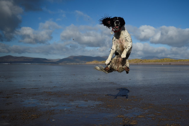 A dog jumps into the air to catch a ball along the beach near the County Kerry village of Rossbeigh, Ireland, February 4, 2018. (Photo by Clodagh Kilcoyne/Reuters)