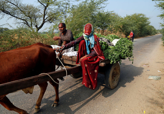 A woman transports fodder for her cattle on a bullock cart on the outskirts of Ajmer, Rajasthan, January 6, 2017. (Photo by Himanshu Sharma/Reuters)