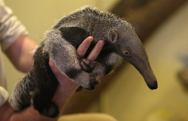 A zookeeper holds a baby giant anteater in its enclosure at Prague Zoo, Czech Republic, March 2, 2016. (Photo by David W. Cerny/Reuters)