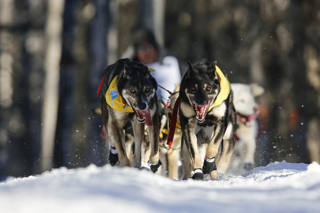 John Baker's team leaves the restart of the Iditarod Trail Sled Dog Race in Willow, Alaska March 6, 2016. (Photo by Nathaniel Wilder/Reuters)