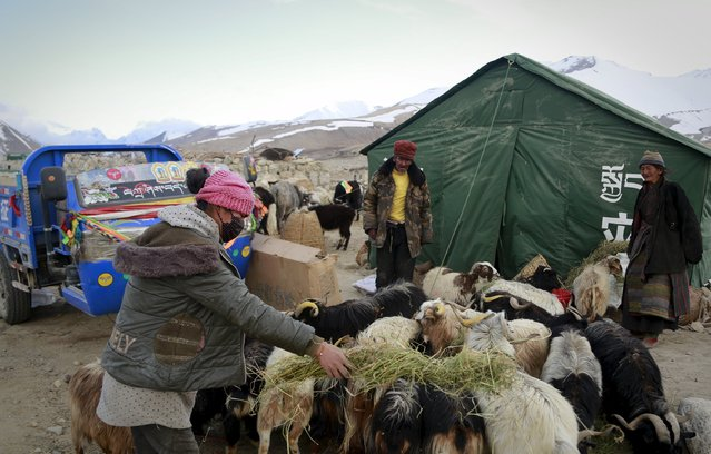 Villagers feed livestock next to a relief tent after a 7.9-magnitude earthquake hit Nepal on Saturday, in Nyalam county, Tibet Autonomous Region, China, April 27, 2015. (Photo by Reuters/China Daily)