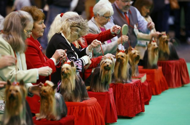 Yorkshire Terriers are shown during the first day of the Crufts Dog Show in Birmingham, Britain March 10, 2016. (Photo by Darren Staples/Reuters)