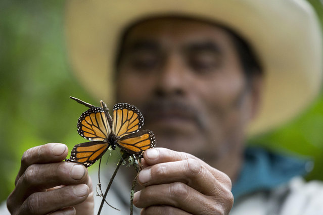 In this November 12, 2015 file photo, a guide holds up a damaged and dying butterfly at the monarch butterfly reserve in Piedra Herrada, Mexico. The number of monarch butterflies wintering in Mexico dropped by 27 percent this year, reversing last year's recovery from historically low numbers, according to a study by government and independent experts released Thursday, February 9, 2017. (Photo by Rebecca Blackwell/AP Photo)