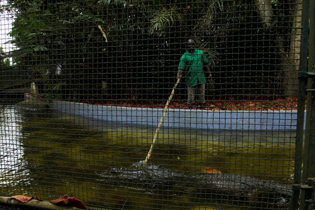 A worker uses a stick to touch a West African Slender-snouted Crocodile at the zoo of Abidjan, Ivory Coast September 9, 2016. (Photo by Luc Gnago/Reuters)