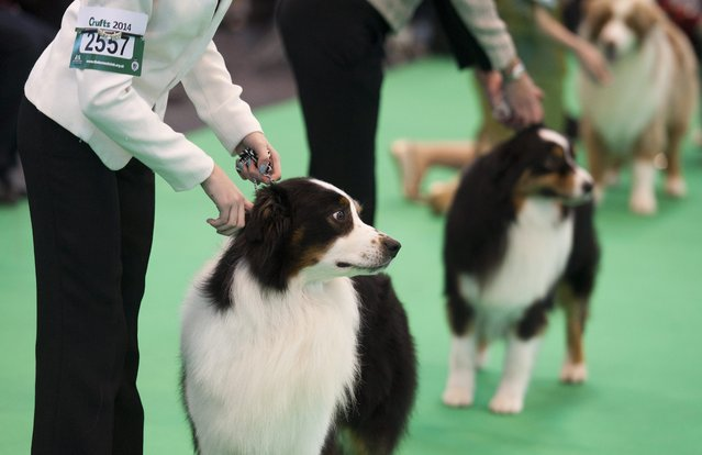 Border Collie dogs and their owners compete during the Crufts Dog Show 2014 at the National Exhibition Centre in Birmingham, Britain, 06 March 2014. (Photo by Will Oliver/EPA)