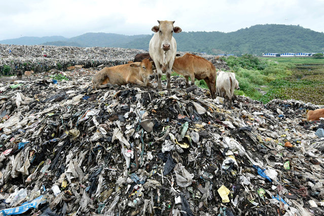 """Cows on a pile of garbage, at one of the largest disposal sites in Northeast India in the Boragaon area on June 4, 2019, ahead of """"World Environment Day"""". (Photo by David Talukdar/Rex Features/Shutterstock)"""