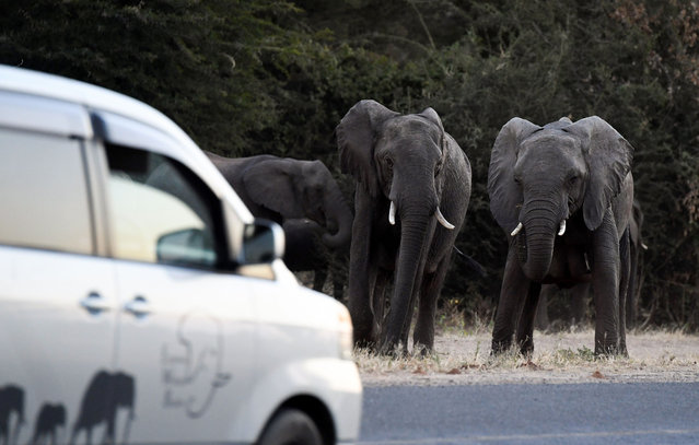 Elephants prepare to cross a road as cars drive by in Kasane, in the Chobe district, Northern Botswana, on May 28, 2019. Last month, the government lifted a blanket hunting ban, imposed in 2014 by then-president Ian Khama, on the grounds that elephant numbers were growing. The decision angered many conservationists and stirred up a political hornet's nest as elections loom later this year. Botswana fended off criticism of its decision to end the five-year ban, saying the move would not threaten the elephant population. (Photo by Monirul Bhuiyan/AFP Photo)