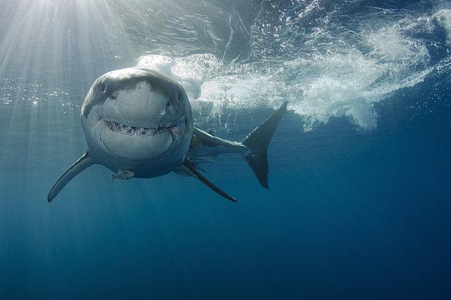 2014 Underwater Photography Photo Contest winners, Sharks category, Runner up. (Photo by Rasmus Raahauge/UnderwaterPhotography.com)