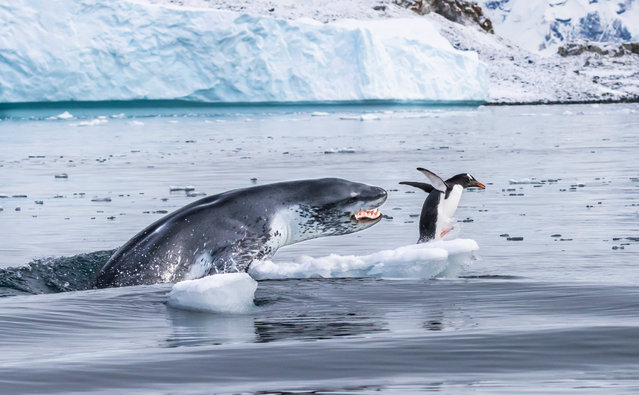A gentoo penguin – the fastest underwater swimmer of all penguins – flees for its life as a leopard seal bursts out of the water. Leopard seals are formidable predators. Females can be 3.5 metres long and weigh more than 500 kilograms, males slightly less. Their slender bodies are built for speed, with wide jaws bearing long canines and sharply pointed molars. (Behaviour: mammals category). (Photo by Eduardo Del Álamo)
