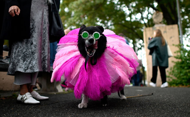 A dog dressed in a costume as Rhianna attends the Tompkins Square Halloween Dog Parade in Manhattan in New York City on October 20, 2019. (Photo by Johannes Eisele/AFP Photo)