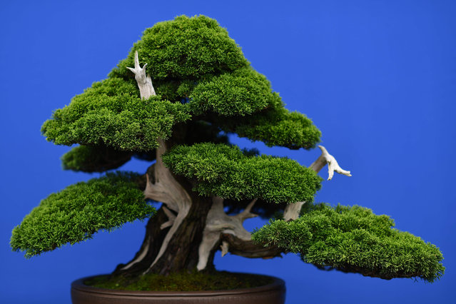 A bonsai tree is seen at the 2017 Chelsea Flower Show in London on May 22, 2017. (Photo by /AFP Photo)