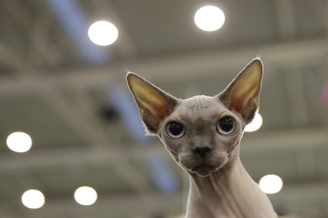 Pelle di Luna (Moon Skin) a Sphinx cat, attends a cat show in Rome, Saturday, November 16, 2019. Hundreds of cats compete in the feline beauty competition held over the weekend in the Italian capital. (Photo by Alessandra Tarantino/AP Photo)