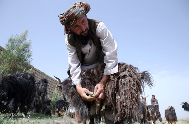 In this Wednesday, April 15, 2015 photo, Afghan shepherd Mohammad Amin talks as he combs cashmere from a goat in Herat city, west of the capital Kabul, Afghanistan. Mohammad has 120 goats grazing the open spaces around an industrial park. At this time of year, most of the female goats have kids and shed the cashmere, which Amin  pulls off in huge handfuls. (Photo by Massoud Hossaini/AP Photo)